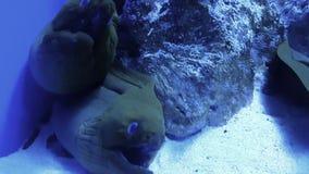 Moray Eel en la cueva que respira metrajes