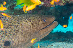 Moray Eel escondendo Fotografia de Stock