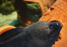 Moray eel Stock Photography