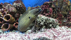 Moray eel fish. Dangerous predatory fish Moray eel.  Muraena Royalty Free Stock Images
