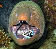 Moray eel fish from red sea stock images