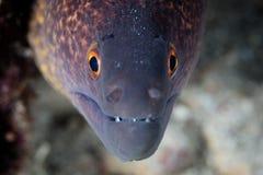Moray Eel Giallo-marginato sulla scogliera in Indonesia fotografia stock libera da diritti