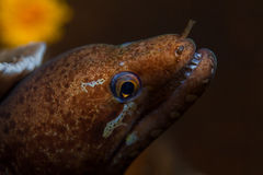 Moray Eel (Gymnothorax javanicus) look out from a hard coral pin Stock Photo