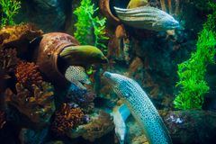 Moray Eel. Gymnothorax miliaris. Fish coral asia Royalty Free Stock Photos