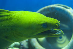 Moray Eel head Stock Photo