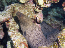 Moray eel. Head and body Stock Photo