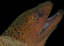 Moray eel head isolated on black. Giant moray eel's head isolated on black background. Photographed in the Komodo National Park in Indonesia royalty free stock photos