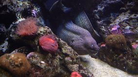 Aquarium with plants and tropical colorful fishes. Moray eel hiding among the seaweed. Aquarium with plants and tropical colorful fishes stock video footage