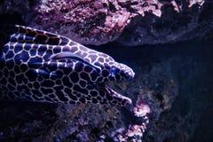 Moray Eel i akvariet för havsliv i Bangkok royaltyfri fotografi