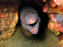 Free Moray Eel In A Coral Cave Royalty Free Stock Photography - 17287187