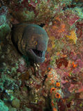 Moray eel Royalty Free Stock Photos