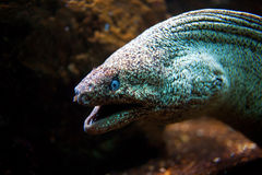 Moray Eel with its mouth open Stock Images