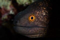 Moray Eel jaune-Marigined dans Alor, Indonésie Photos libres de droits