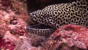 Moray eel leopard color on background underwater landscape in sea of Maldives. stock footage
