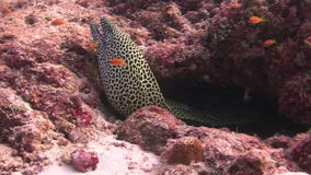 Moray eel leopard color on background underwater landscape in sea of Maldives. Swimming in world of colorful beautiful wildlife of corals reefs. Inhabitants in stock video footage