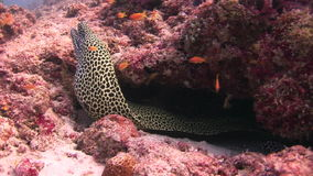 Moray eel leopard color on background underwater landscape in sea of Maldives. Swimming in world of colorful beautiful wildlife of corals reefs. Inhabitants in stock video