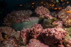 Moray Eel Malpelo stock afbeelding