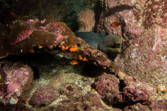 Moray Eel Malpelo Royalty Free Stock Images