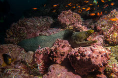 Moray Eel Malpelo. A famous spotted Morray Eel in Malpelo Colombia Stock Image