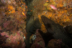 Moray Eel Malpelo. A famous spotted Morray Eel in Malpelo Colombia Royalty Free Stock Photos