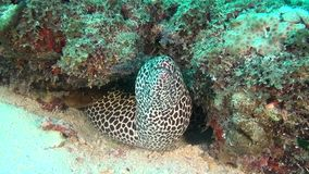 Moray Eel manchado no fundo do underwater claro limpo do fundo do mar em Maldivas filme