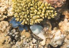 Moray Eel Mar Rojo Egipto Foto de archivo