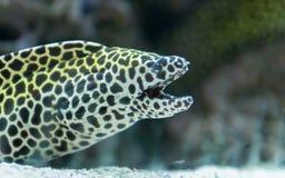 Moray eel, Moray fish in sea Royalty Free Stock Photo