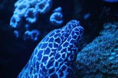 Moray eel Stock Photography