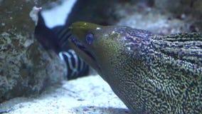The Moray Eel (Muraena Helena). stock footage