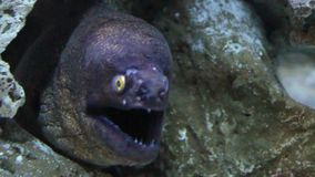 The Moray Eel (Muraena Helena). stock video footage