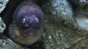 The Moray Eel (Muraena Helena). stock video