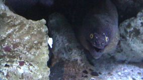 The Moray Eel (Muraena Helena). stock video