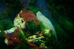 Moray eel,.Muraenidae,  from Pacific and Indian Ocean. Nature water habitat. water with beautiful yellow animal in sea water. Stock Photography