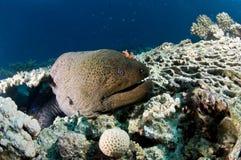 Moray Eel och koralltabell som är undervattens-, Röda havet, Egypten Arkivfoton