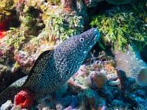 Moray Eel off Isla Mujeres, mexico Stock Photos