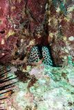 Moray Eel Oman. With shrips in the sultanate oman Stock Photo