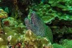 Moray Eel Oman. Portrait of a moray eel in the sultanate oman Stock Photos