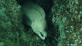 Moray Eel in Onderwatercoral reef Stock Foto's
