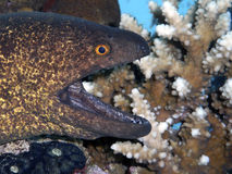 Moray eel with open jaws. Juvenile Giant moray , Gimnothorax javanicus amongs coral close-up picture stock photos