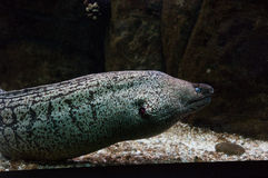 Moray eel with the opened mouth. Stock Photos