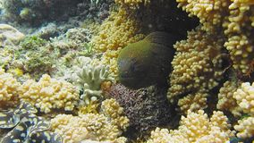 Moray Eel peeking out of a coral reef.  stock video