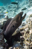 Moray Eel. A moray eel peeks out from the reef Royalty Free Stock Photo