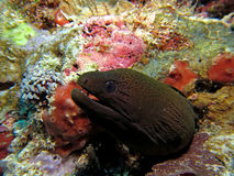 Moray Eel. Peering from a hole in the Coral Stock Photo