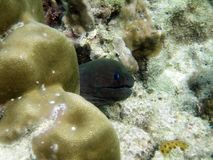 Moray eel poke the head out of coral reef. royalty free stock image
