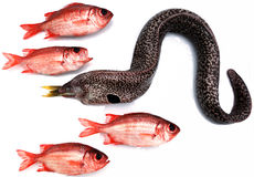 Moray eel and red fishes Stock Images