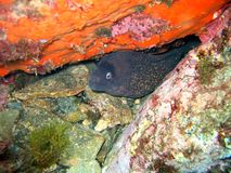 Moray eel with red sponge Royalty Free Stock Images