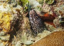 Moray Eel - Roatan manchados, Honduras fotos de archivo