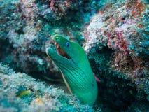 Moray eel, sea of cortez, baja california stock photography