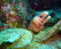 Moray eel showing its head. Moray eel in its cave, underwater photography, spotted red moray eel, red and green dominant colors in the picture Royalty Free Stock Image