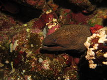 Moray eel showing teeth. Giant moray eel showing its teeth, Red Sea, Egypt stock photos